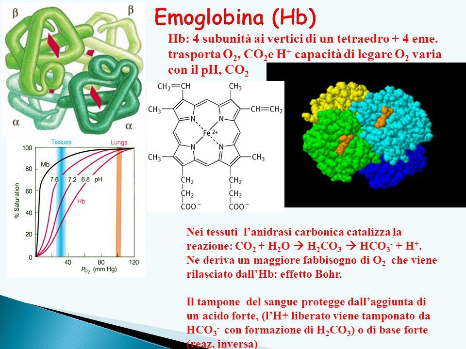 Emoglobina (Hb) Hb: 4 subunità ai vertici di un tetraedro + 4 eme. trasporta O2, CO2e H+ capacità di legare O2 varia con il pH, CO2.