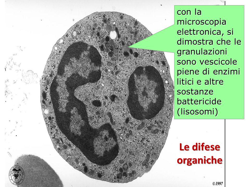 con la microscopia elettronica, si dimostra che le granulazioni sono vescicole piene di enzimi litici e altre sostanze battericide (lisosomi)