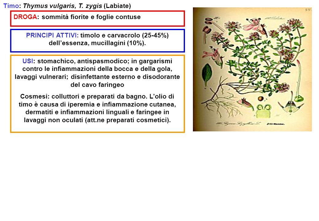Timo: Thymus vulgaris, T. zygis (Labiate)