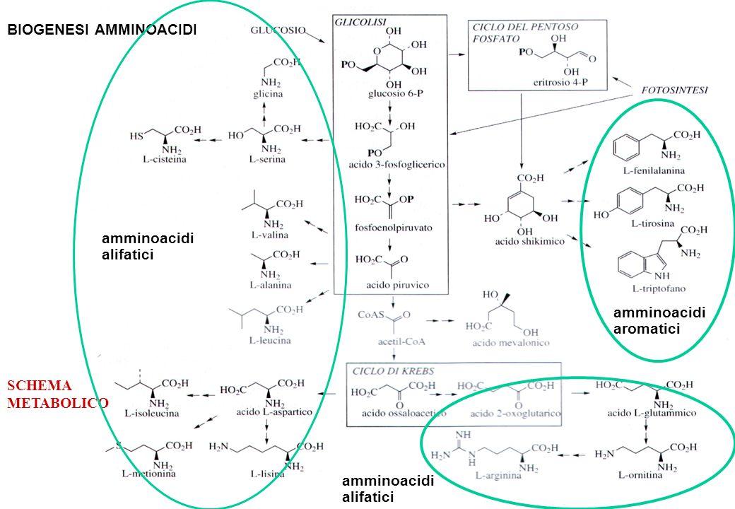 a BIOGENESI AMMINOACIDI amminoacidi alifatici amminoacidi aromatici