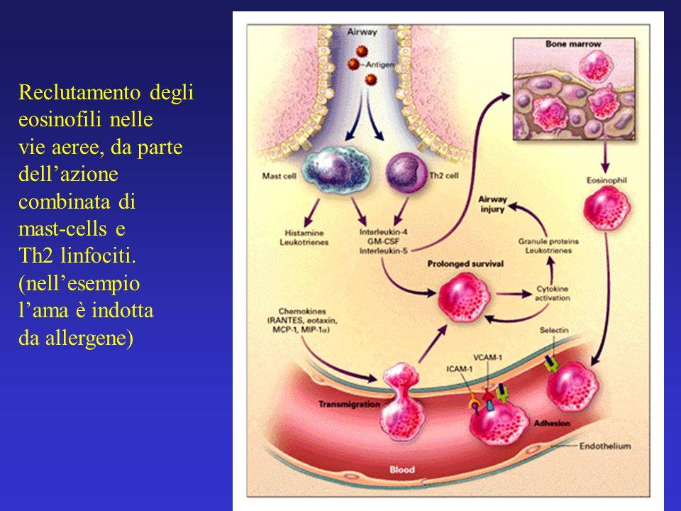 Reclutamento degli eosinofili nelle. vie aeree, da parte. dell'azione. combinata di. mast-cells e.