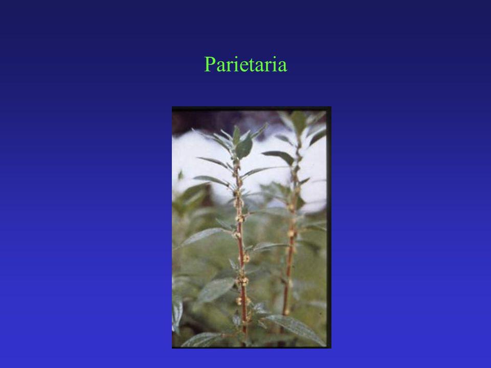 Parietaria