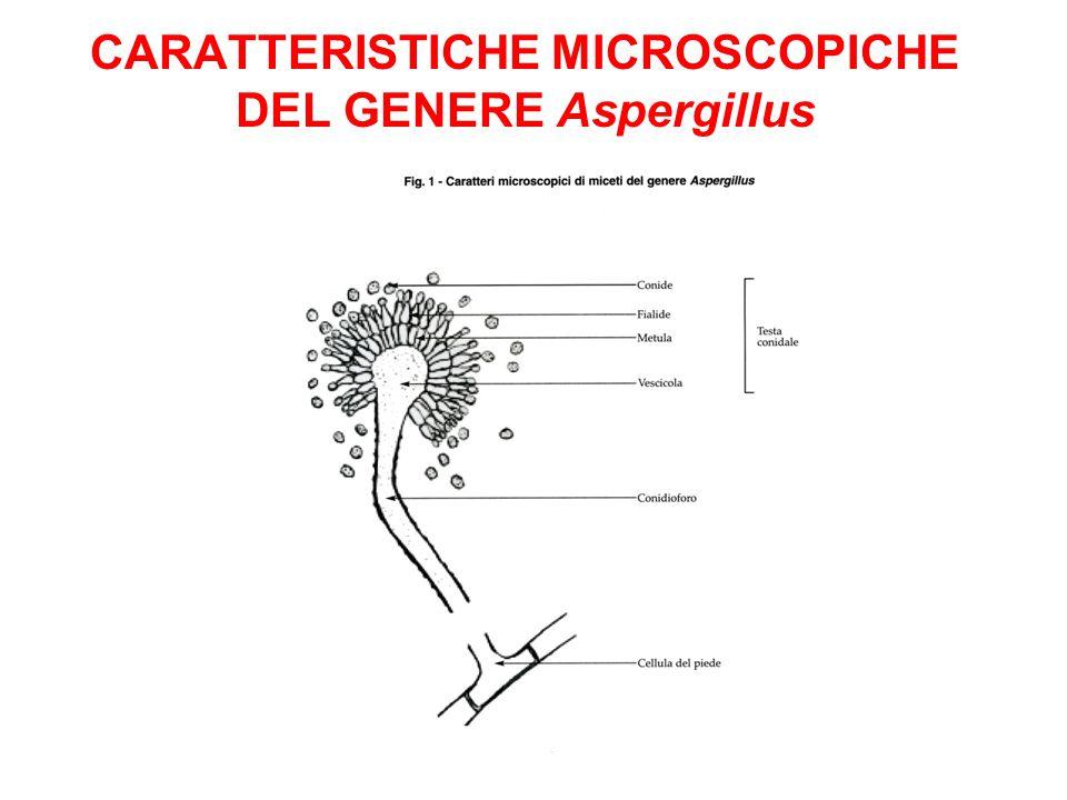 CARATTERISTICHE MICROSCOPICHE DEL GENERE Aspergillus