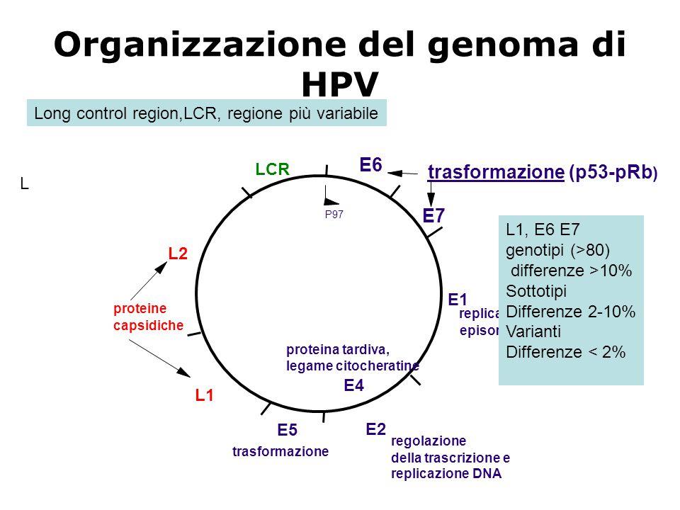 Organizzazione del genoma di HPV