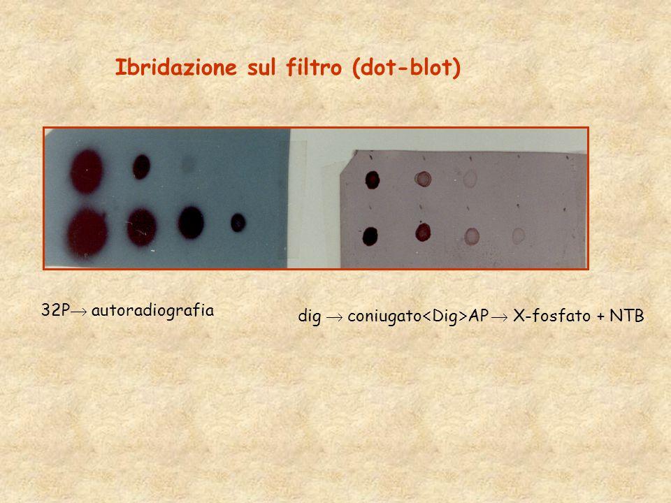 Ibridazione sul filtro (dot-blot)