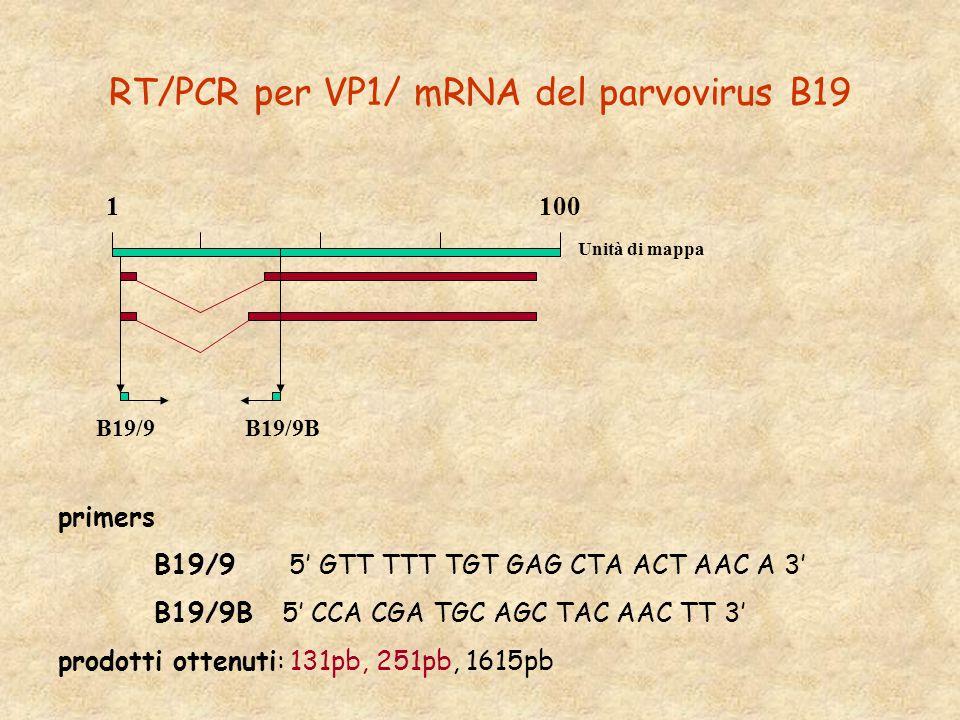 RT/PCR per VP1/ mRNA del parvovirus B19