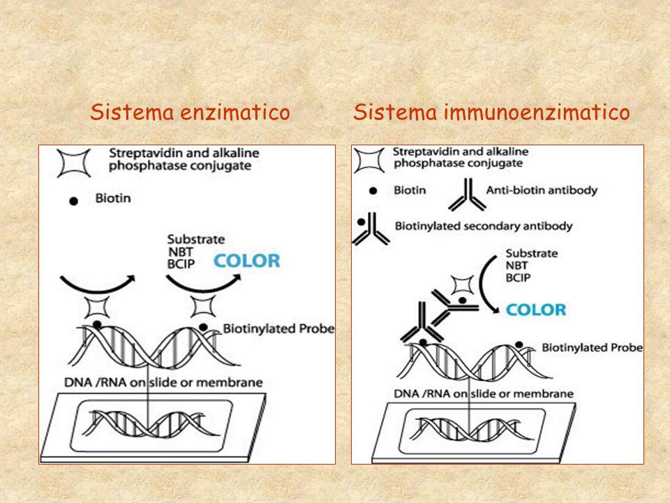 Sistema immunoenzimatico