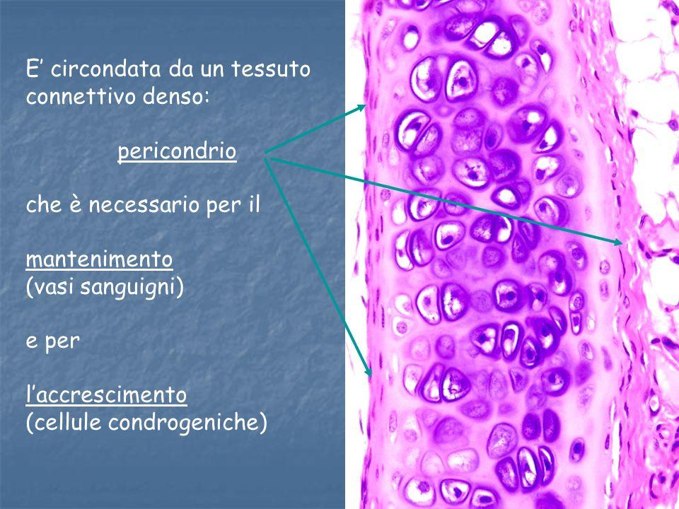 E' circondata da un tessuto connettivo denso: