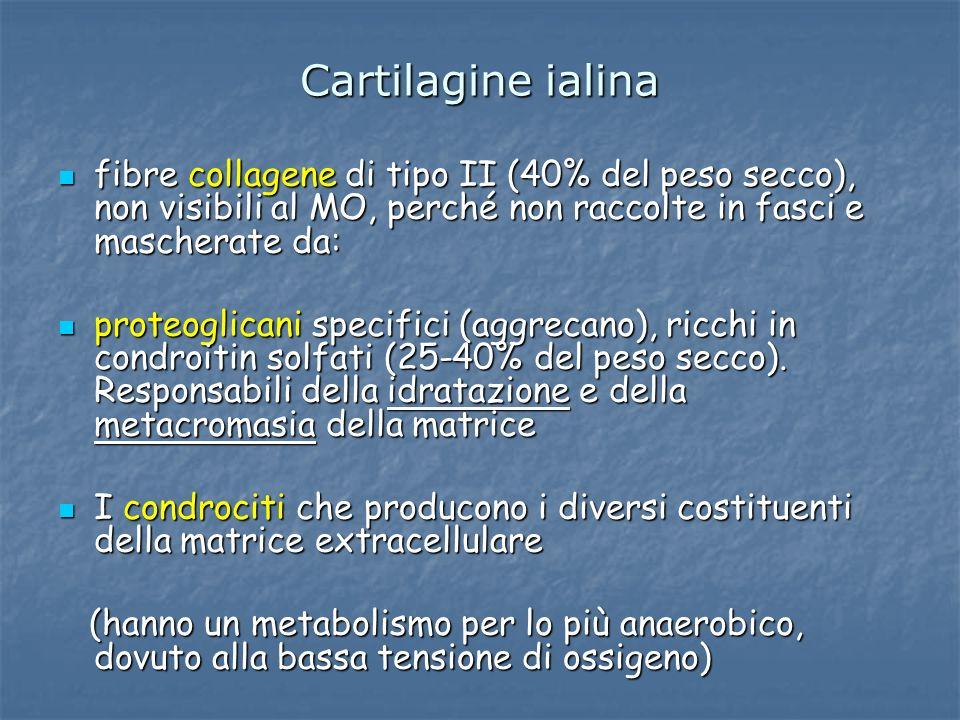 Cartilagine ialina fibre collagene di tipo II (40% del peso secco), non visibili al MO, perché non raccolte in fasci e mascherate da: