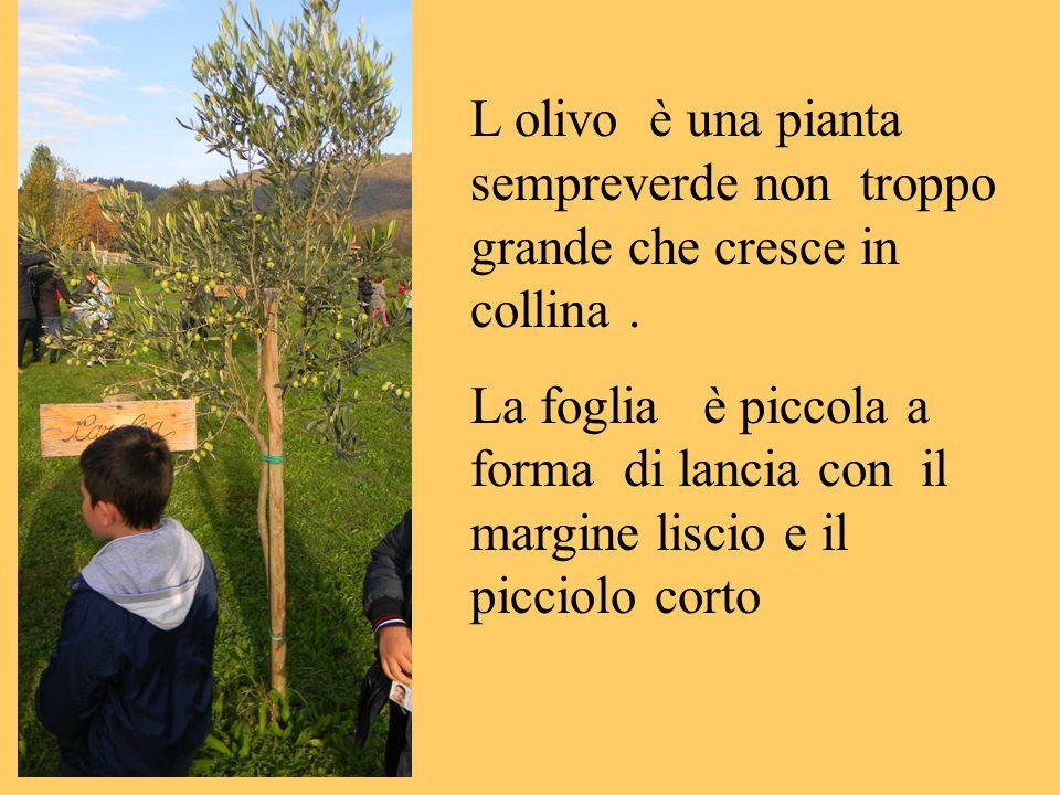 L olivo è una pianta sempreverde non troppo grande che cresce in collina .