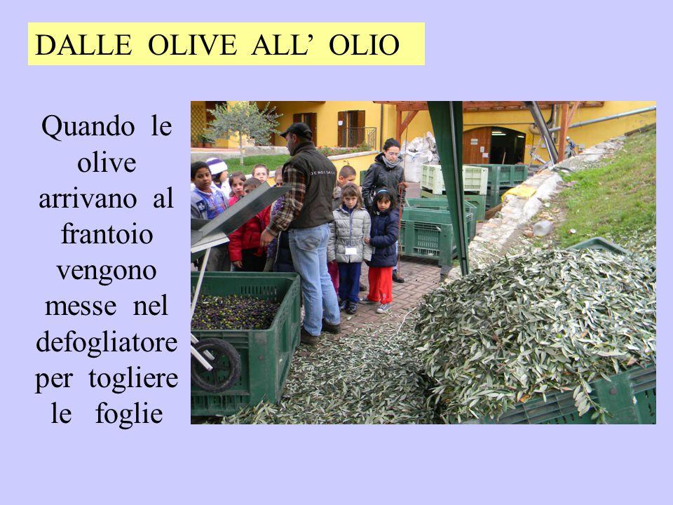 DALLE OLIVE ALL' OLIO Quando le olive arrivano al frantoio vengono messe nel defogliatore per togliere le foglie.