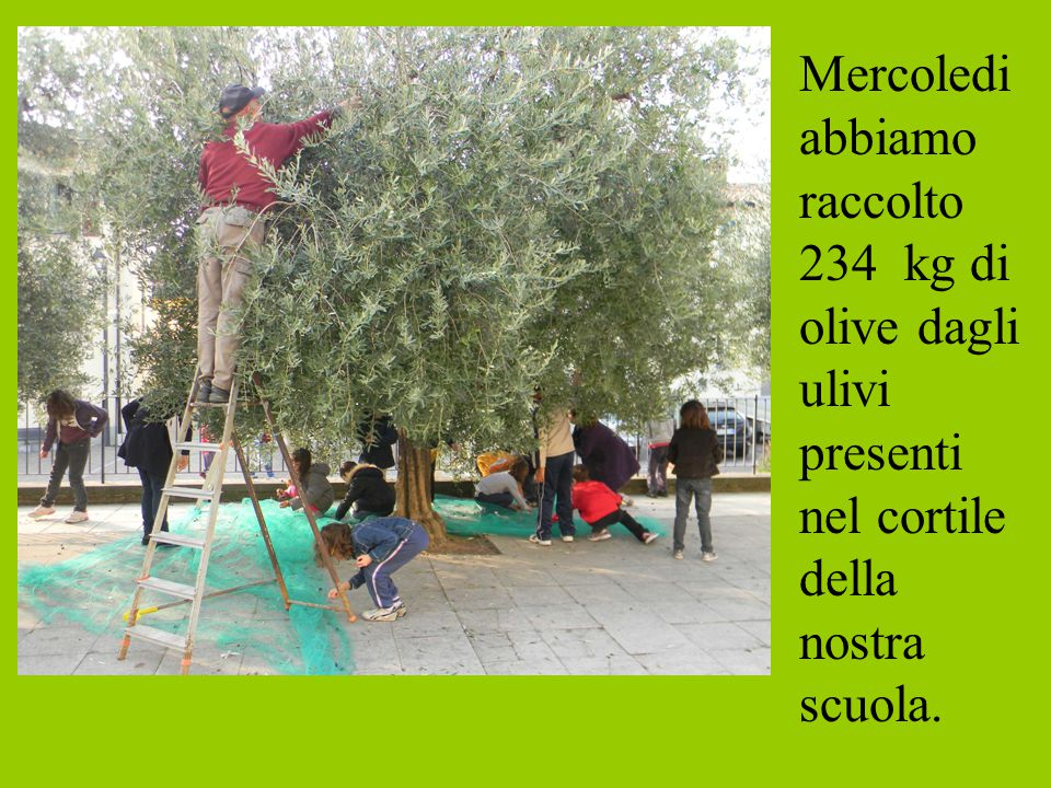 Mercoledi abbiamo raccolto 234 kg di olive dagli ulivi presenti nel cortile della nostra scuola.