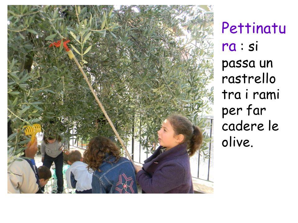 Pettinatura : si passa un rastrello tra i rami per far cadere le olive.