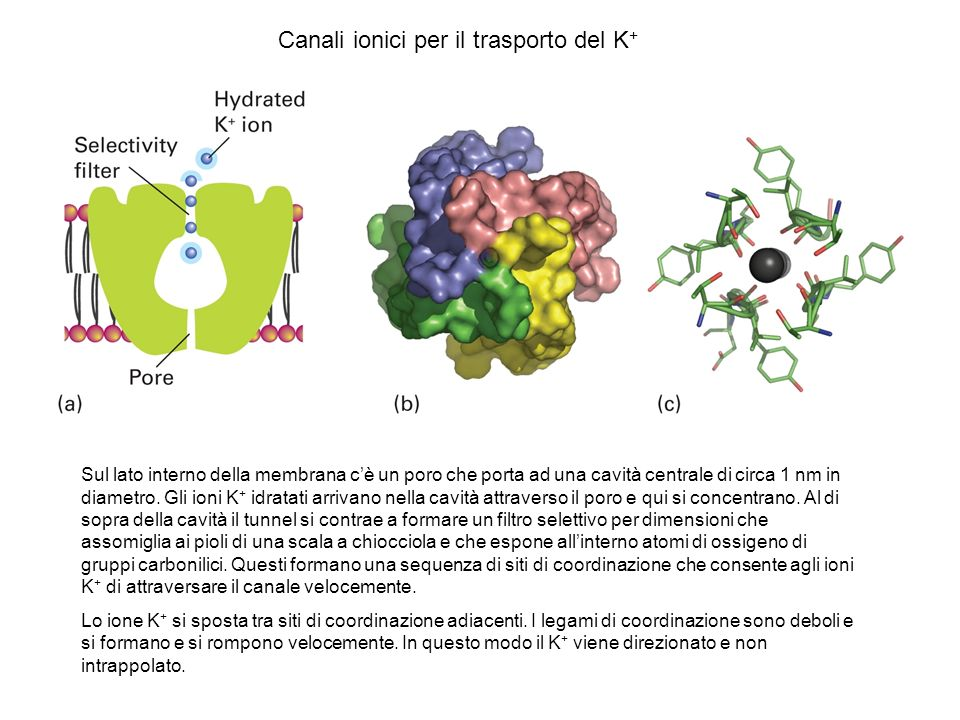 Canali ionici per il trasporto del K+