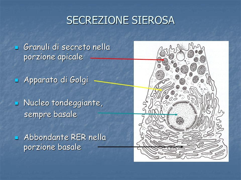 SECREZIONE SIEROSA Granuli di secreto nella porzione apicale