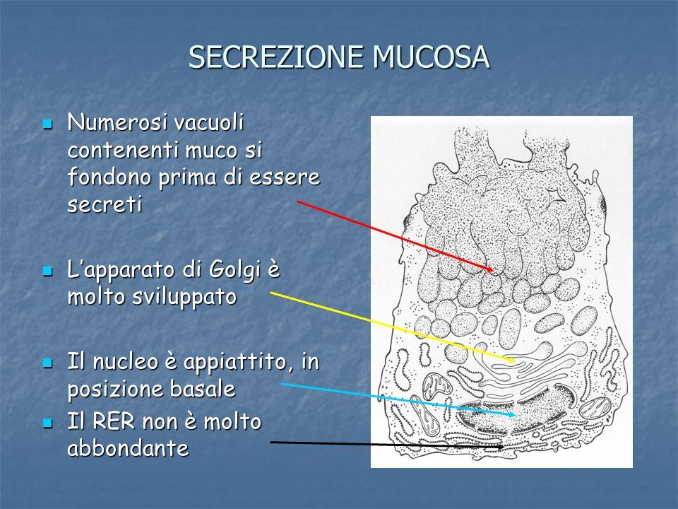 SECREZIONE MUCOSA Numerosi vacuoli contenenti muco si fondono prima di essere secreti. L'apparato di Golgi è molto sviluppato.