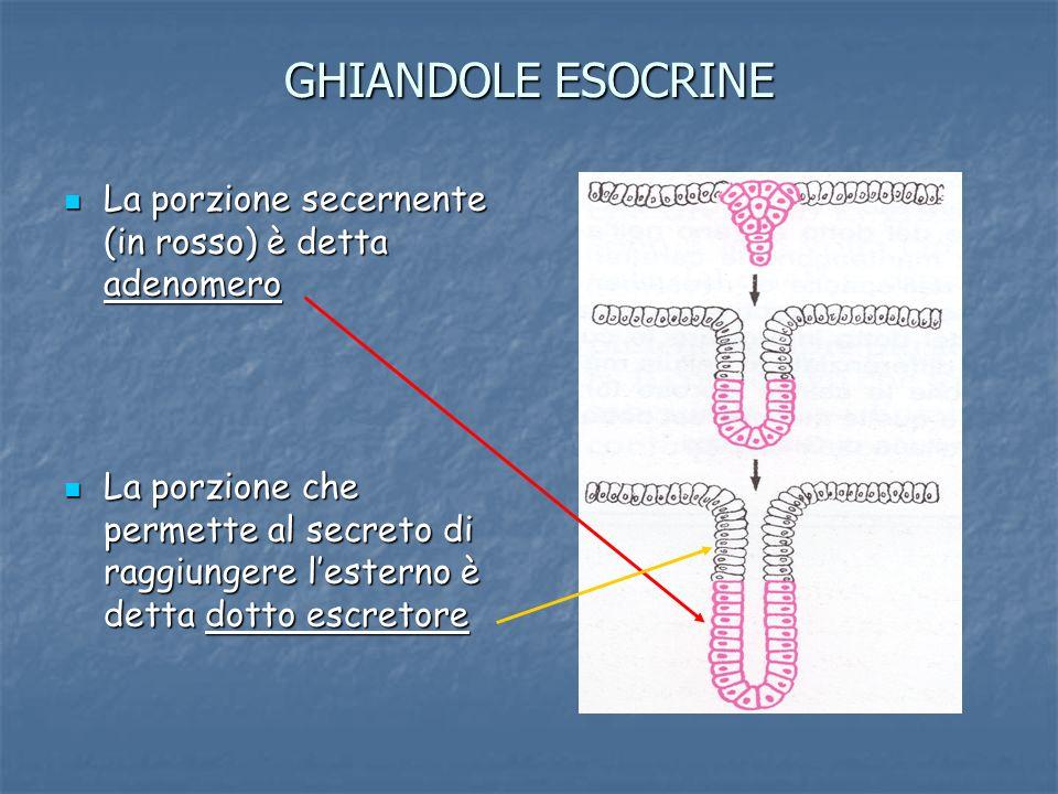 GHIANDOLE ESOCRINE La porzione secernente (in rosso) è detta adenomero