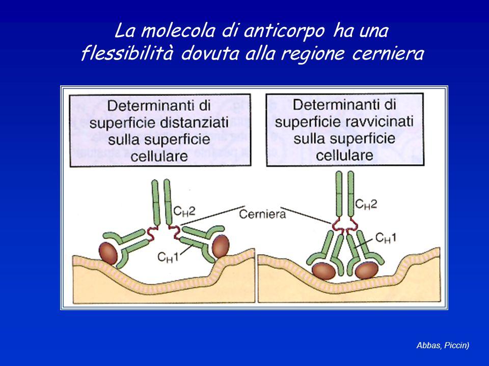 La molecola di anticorpo ha una