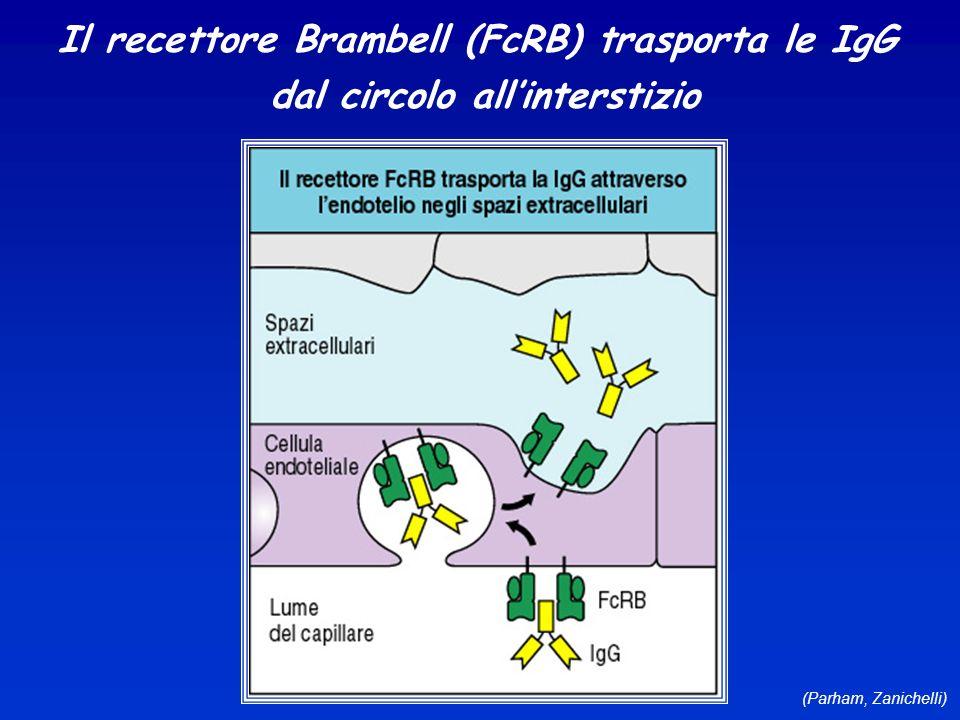 Il recettore Brambell (FcRB) trasporta le IgG