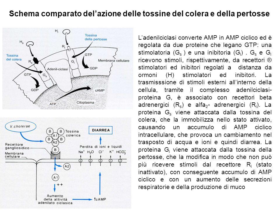 Schema comparato del'azione delle tossine del colera e della pertosse