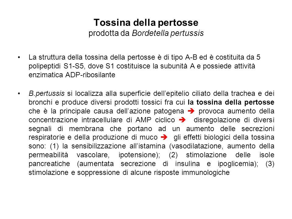 Tossina della pertosse prodotta da Bordetella pertussis