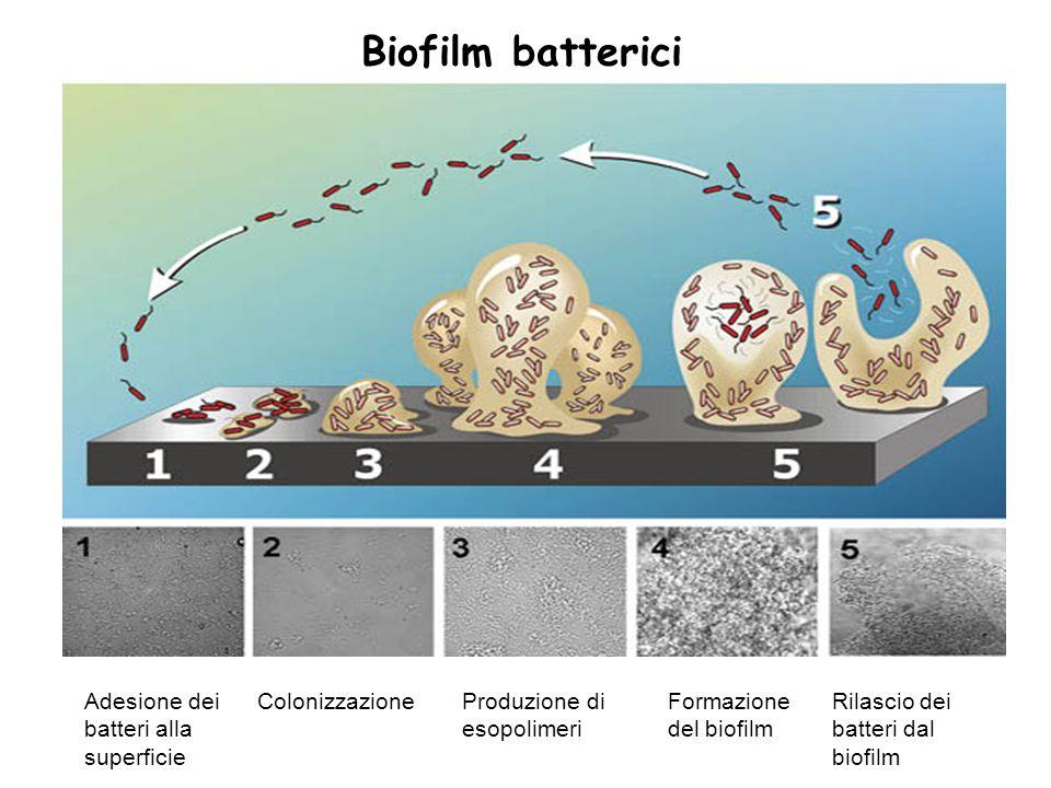 Biofilm batterici Adesione dei batteri alla superficie Colonizzazione