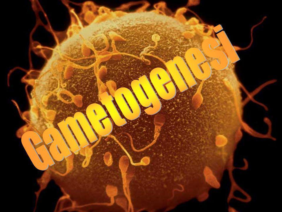Gametogenesi