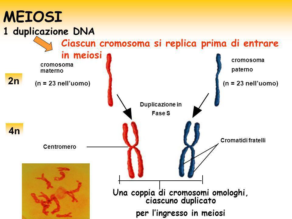MEIOSI 1 duplicazione DNA
