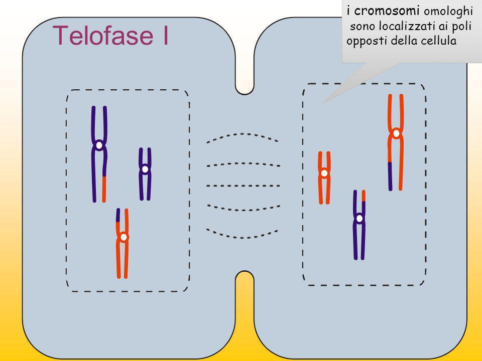 Telofase I i cromosomi omologhi