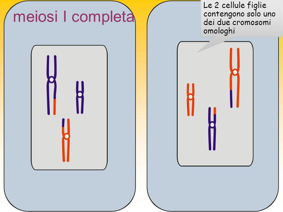 Le 2 cellule figlie contengono solo uno dei due cromosomi omologhi