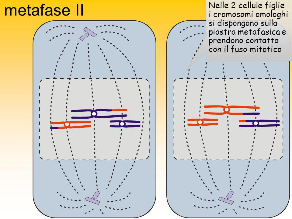 metafase II Nelle 2 cellule figlie i cromosomi omologhi si dispongono sulla piastra metafasica e prendono contatto con il fuso mitotico.