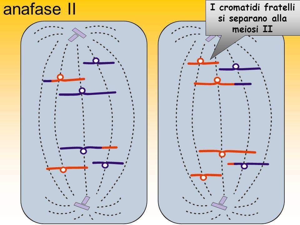 I cromatidi fratelli si separano alla meiosi II