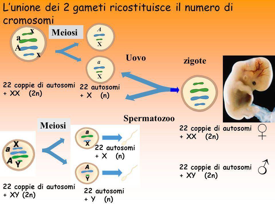 ♀ ♂ L'unione dei 2 gameti ricostituisce il numero di cromosomi x