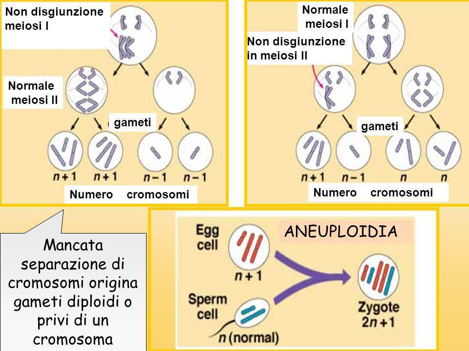 Non disgiunzione meiosi I. Normale. meiosi I. Non disgiunzione. in meiosi II. Normale. meiosi II.