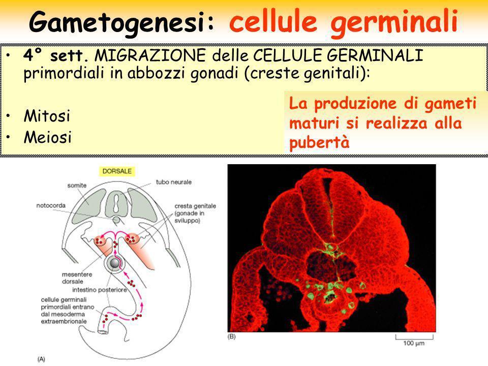Gametogenesi: cellule germinali