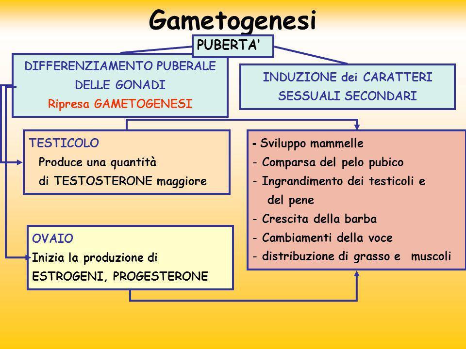 Gametogenesi PUBERTA' DIFFERENZIAMENTO PUBERALE DELLE GONADI