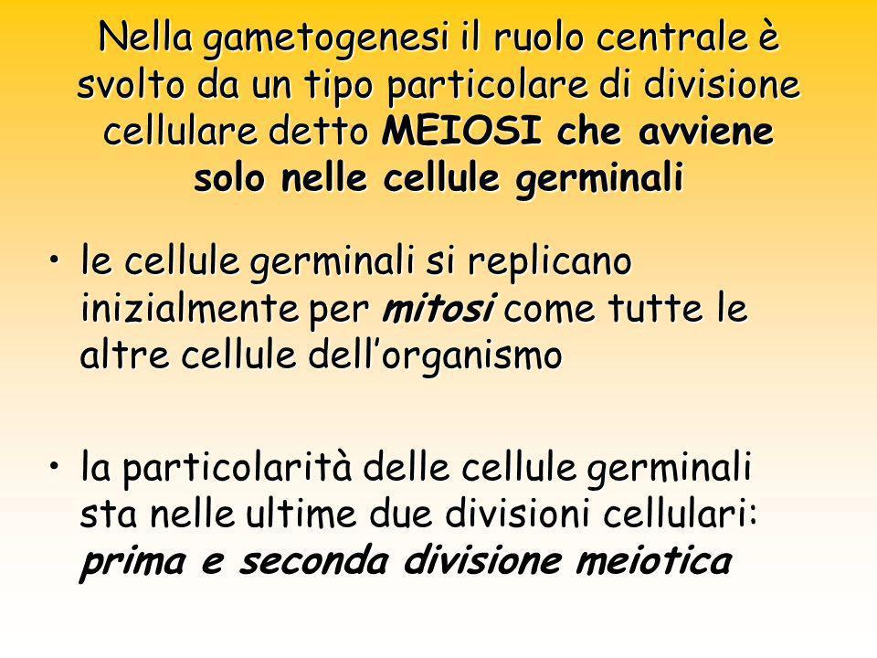 Nella gametogenesi il ruolo centrale è svolto da un tipo particolare di divisione cellulare detto MEIOSI che avviene solo nelle cellule germinali