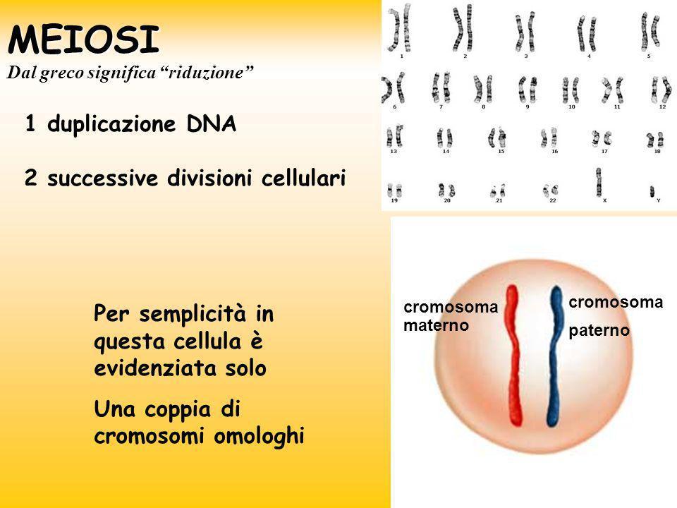 MEIOSI 1 duplicazione DNA 2 successive divisioni cellulari