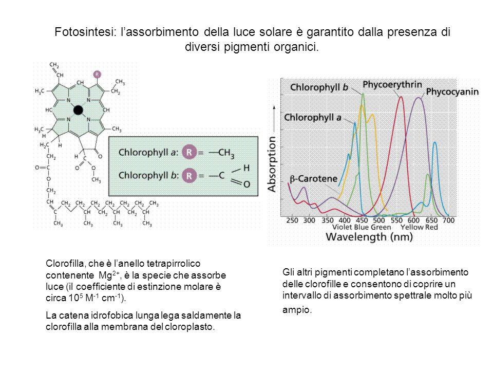 Fotosintesi: l'assorbimento della luce solare è garantito dalla presenza di diversi pigmenti organici.