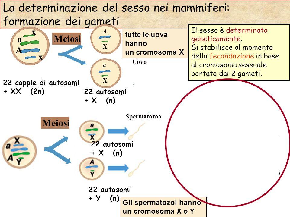 ♀ ♂ La determinazione del sesso nei mammiferi: formazione dei gameti x