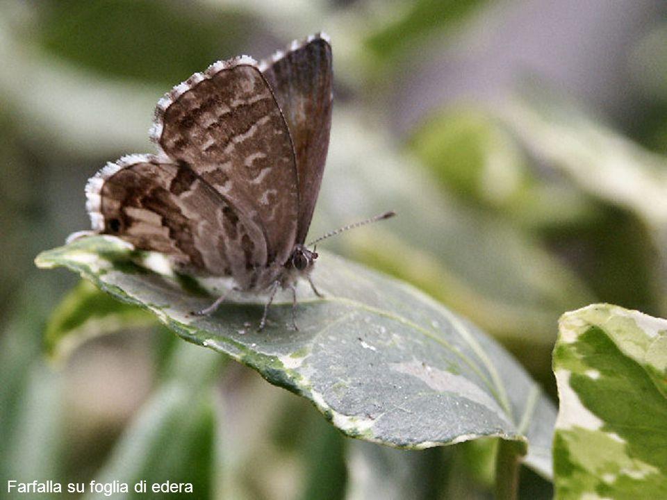 Farfalla su foglia di edera