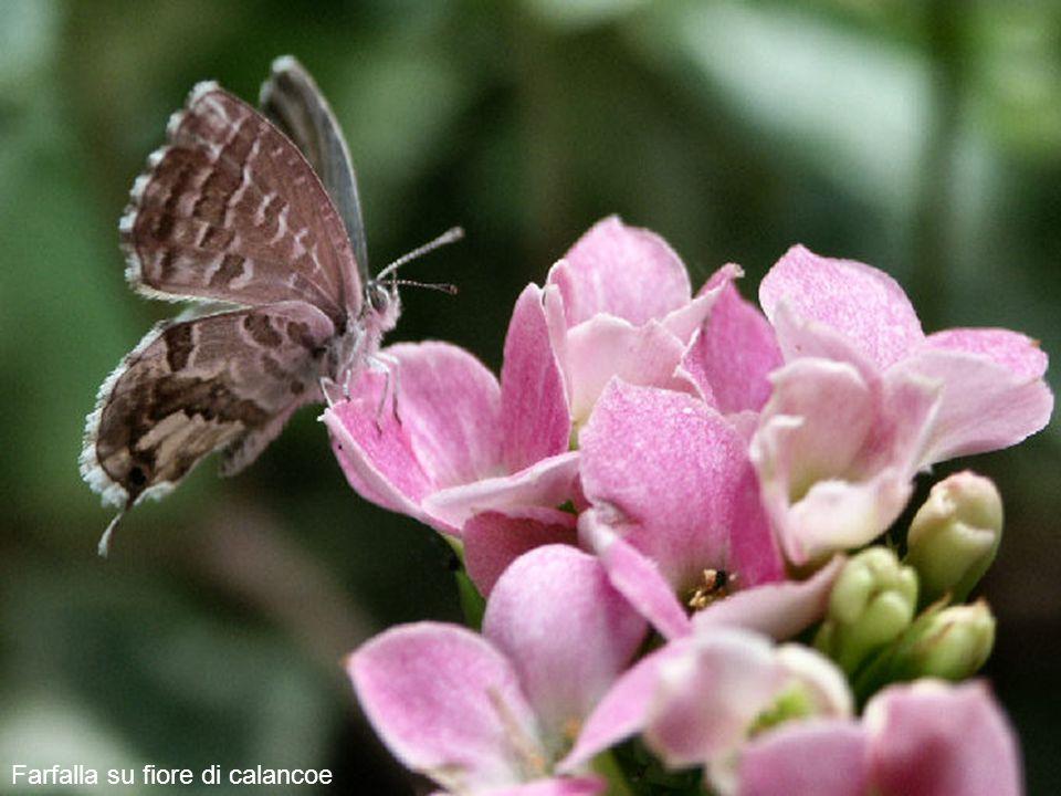 ab Farfalla su fiore di calancoe