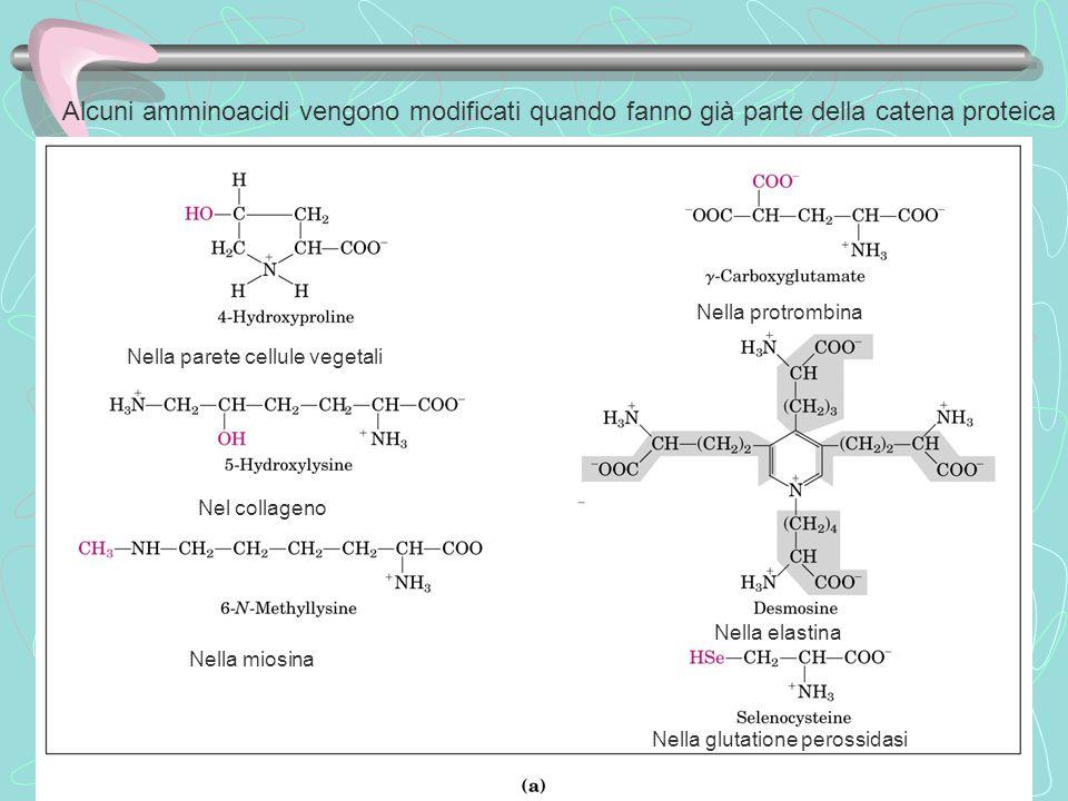 Alcuni amminoacidi vengono modificati quando fanno già parte della catena proteica