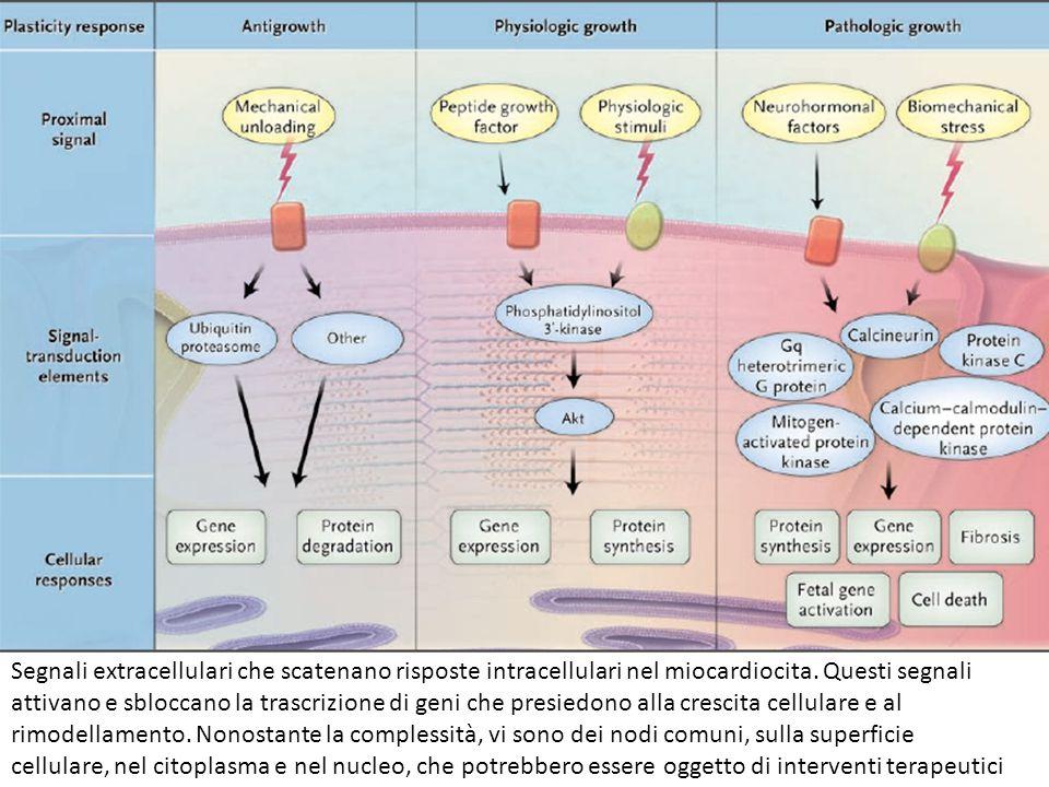 Segnali extracellulari che scatenano risposte intracellulari nel miocardiocita.