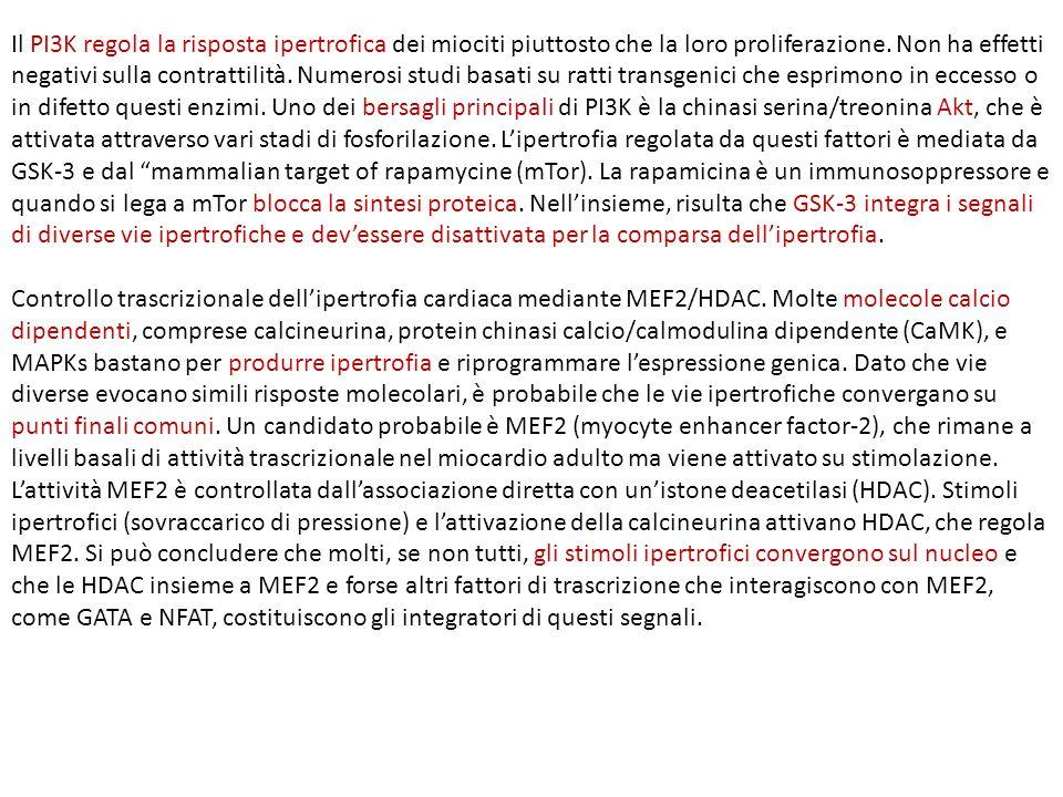 Il PI3K regola la risposta ipertrofica dei miociti piuttosto che la loro proliferazione. Non ha effetti negativi sulla contrattilità. Numerosi studi basati su ratti transgenici che esprimono in eccesso o in difetto questi enzimi. Uno dei bersagli principali di PI3K è la chinasi serina/treonina Akt, che è attivata attraverso vari stadi di fosforilazione. L'ipertrofia regolata da questi fattori è mediata da GSK-3 e dal mammalian target of rapamycine (mTor). La rapamicina è un immunosoppressore e quando si lega a mTor blocca la sintesi proteica. Nell'insieme, risulta che GSK-3 integra i segnali di diverse vie ipertrofiche e dev'essere disattivata per la comparsa dell'ipertrofia.