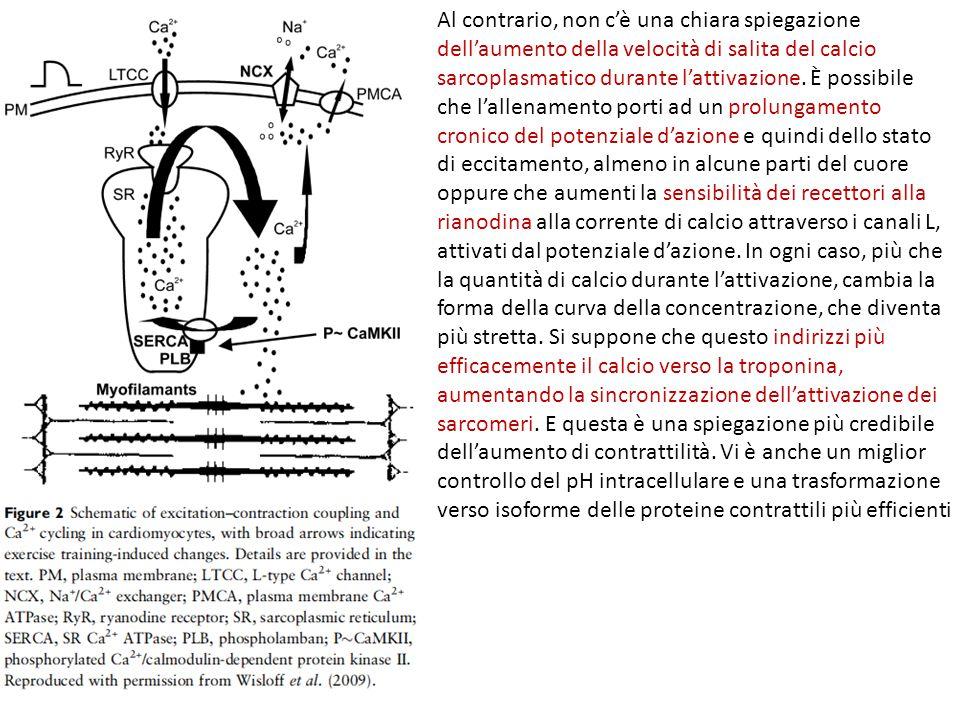 Al contrario, non c'è una chiara spiegazione dell'aumento della velocità di salita del calcio sarcoplasmatico durante l'attivazione.