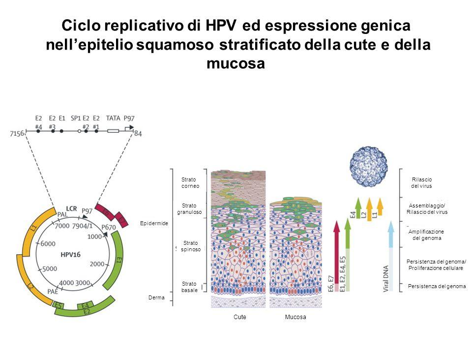 Ciclo replicativo di HPV ed espressione genica nell'epitelio squamoso stratificato della cute e della mucosa