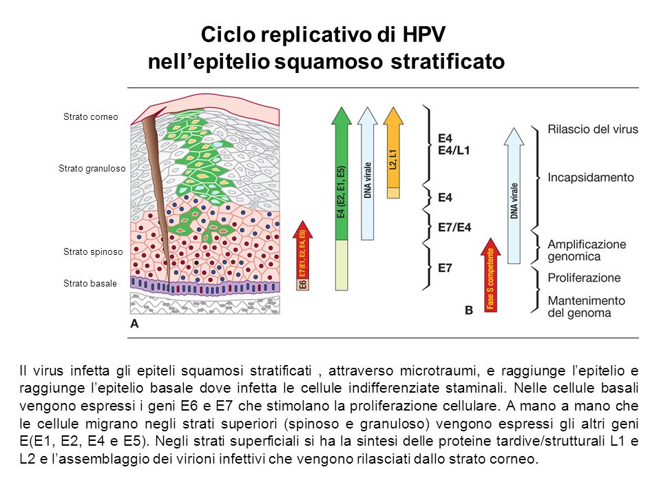 Ciclo replicativo di HPV nell'epitelio squamoso stratificato