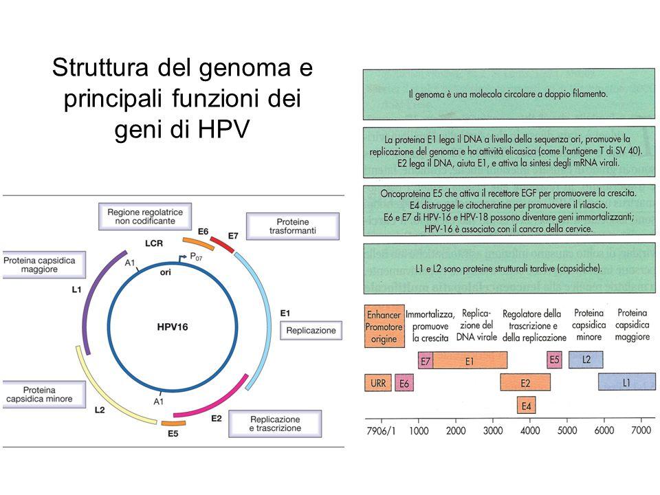 Struttura del genoma e principali funzioni dei geni di HPV
