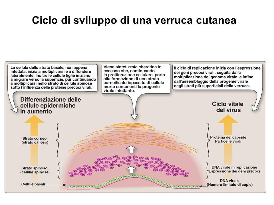 Ciclo di sviluppo di una verruca cutanea